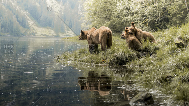Grizzly bears playing on the riverbank in the Khutzeymateen Inlet, Northern British Columbia, Canada