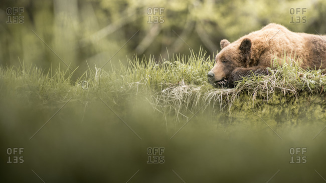 Grizzly bear resting in the grass of Khutzeymateen Inlet, Northern British Columbia, Canada