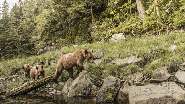 Grizzly bears on the riverbank in the Khutzeymateen Inlet, Northern British Columbia, Canada