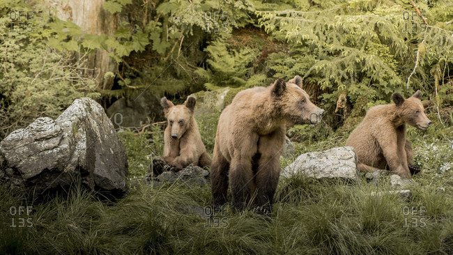 Grizzly bears sitting in grass in the Khutzeymateen Inlet, Canada