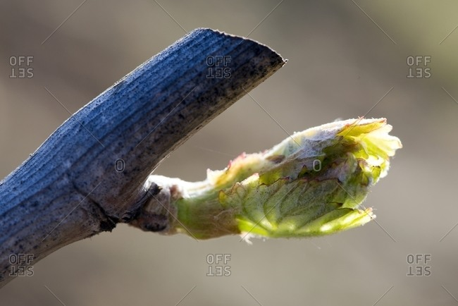A detail of budbreak on a grape vine in the Spring in the Dry Creek Valley appellation of the Sonoma Wine Country near Healdsburg, CA.