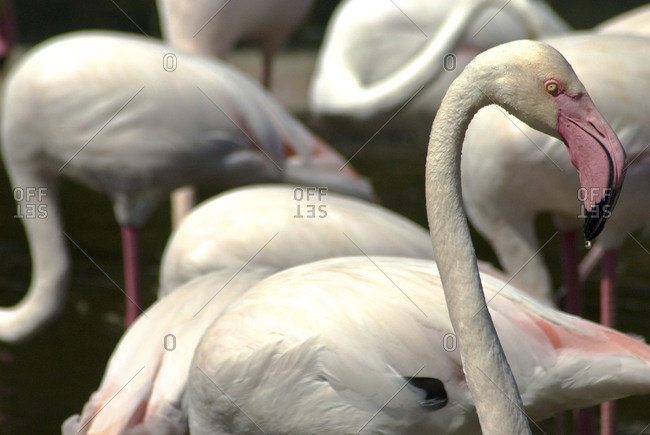 A group of flamingos at the San Diego Wild Animal Park in San Diego, CA.