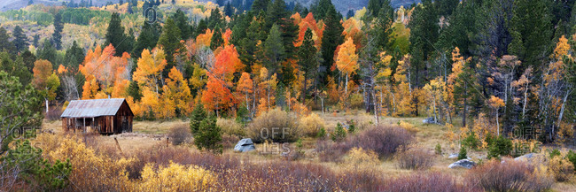A old cabin is surrounded by aspens in brilliant fall color in Hope Valley near Kirkwood, CA.