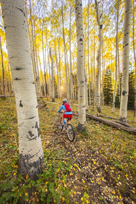 A woman riding a mountain bike through a yellow Aspen tree forest in the fall season.