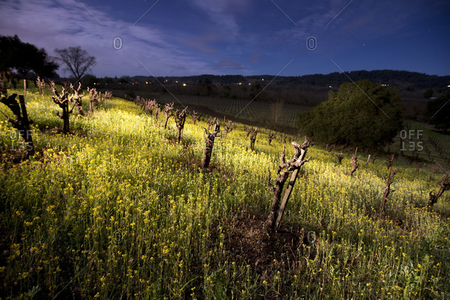 An Old Vine Zinfandel vineyard with Mustard Flowers is illuminated at night in the Dry Creek Wine Country near Healdsburg, CA.