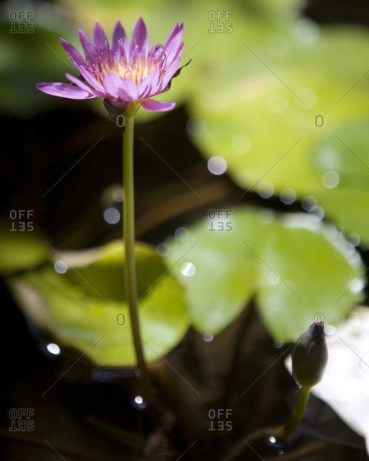 Blooming lotus flower in Rayavadee, Krabi situated on southern Thailand�s Andaman coast