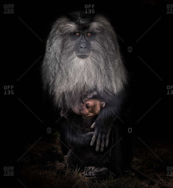 a portrait of a lion-tailed macaque and baby