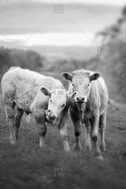 Two cows on pasture - Offset