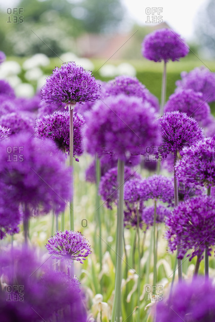 Close-up of purple allium flowers