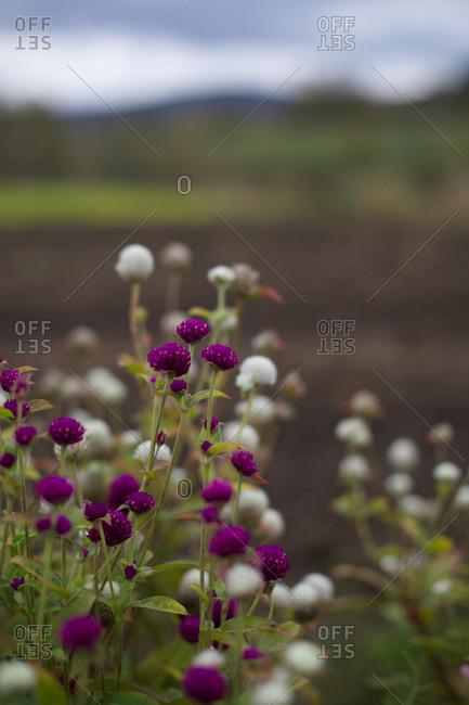 Globe Amaranth in white and purple.
