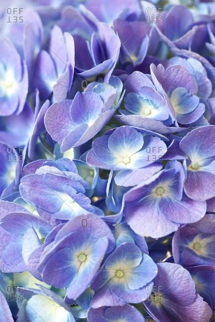 Close-up of Purple Hydrangea.