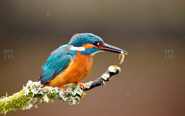 Kingfisher bird feeding on a branch