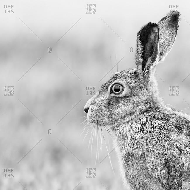 Portrait of European Hare.