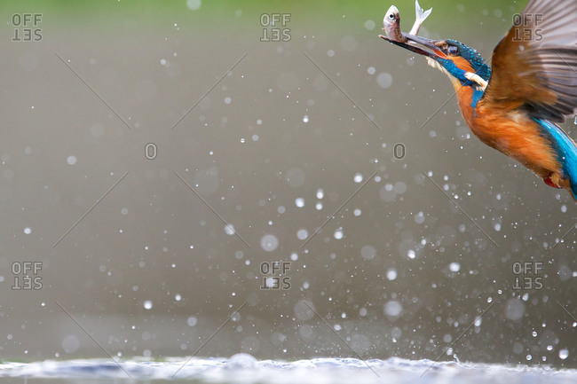 Portrait of kingfisher bird flying with fish