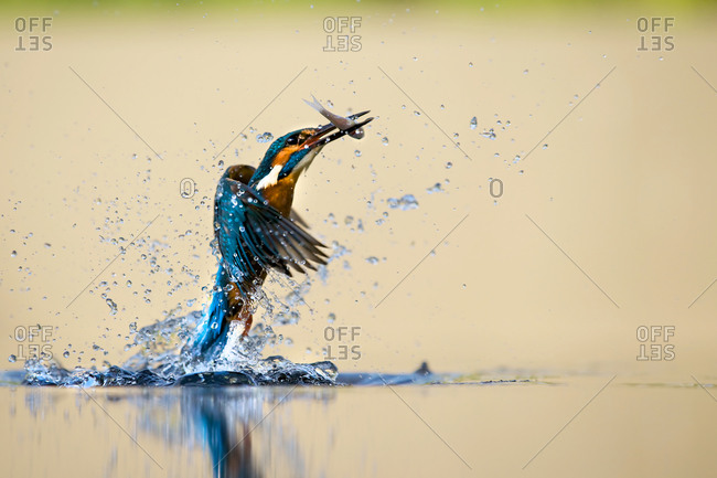 Portrait of kingfisher bird catching fish