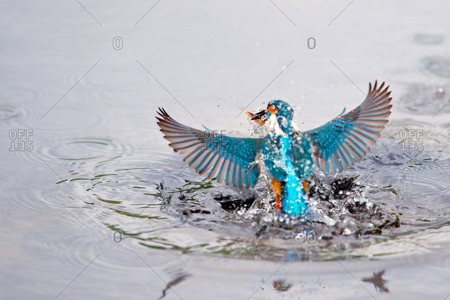 Portrait of kingfisher bird catching fish