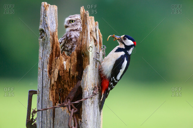 Close-up of burrowing owl chick and great spotted woodpecker on a wooden fence