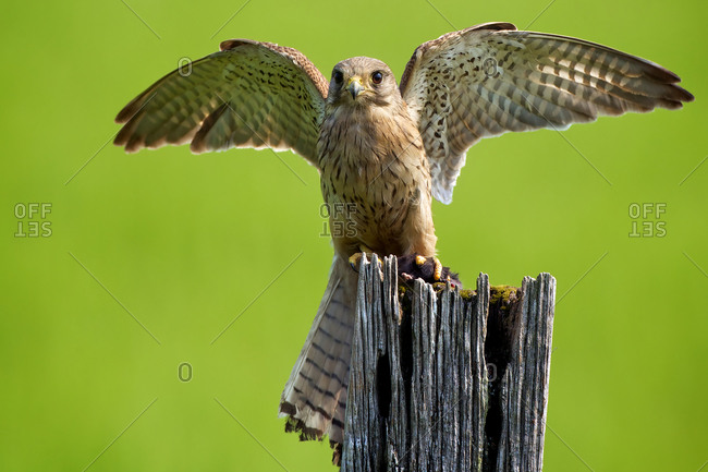 Close-up of common kestrel perched on a wooden pole