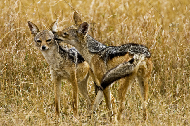 Silver-backed Jackals in the brush of Maasai Mara Kenya