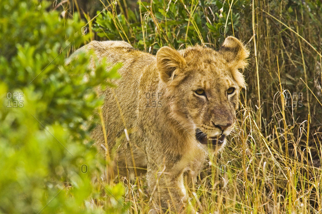 A lion lurking from the bush in the Maasai Mara Kenya