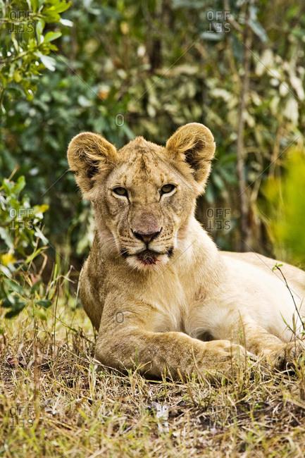 A little older lion cub laying in the bush in the Maasai Mara Kenya