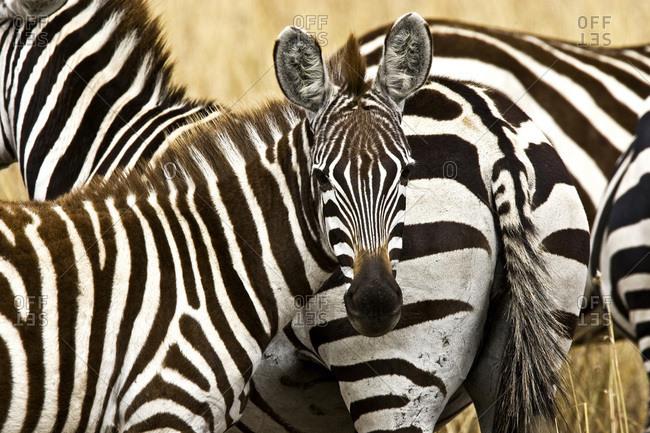 Zebras herding in the fields of the Maasai Mara Kenya