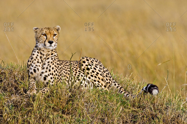 A Cheetah in the brush at the Maasai Mara Kenya