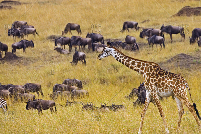 Crossing of the Mara River by Giraffes and wildebeest, Connochaetes taurinus,  migrating in the Maasai Mara Kenya