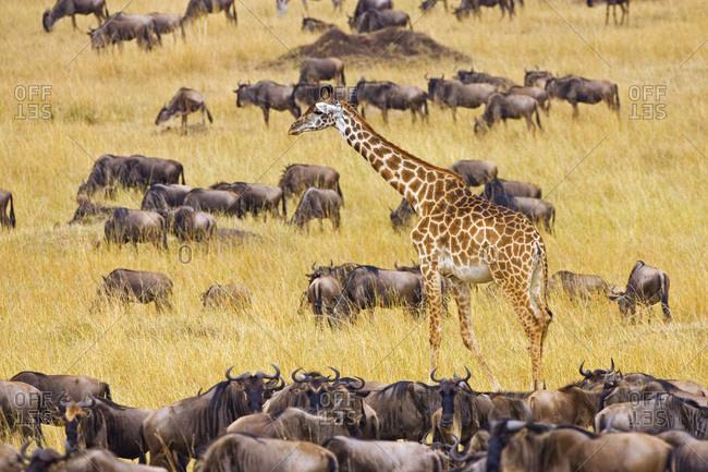 Crossing of the Mara River by Giraffes and wildebeest, Connochaetes taurinus,  migrating in the Maasai Mara Kenya