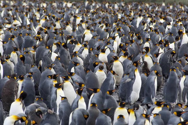 South Georgia Island,  Salisbury Plain Second largest king penguin colony in South Georgia