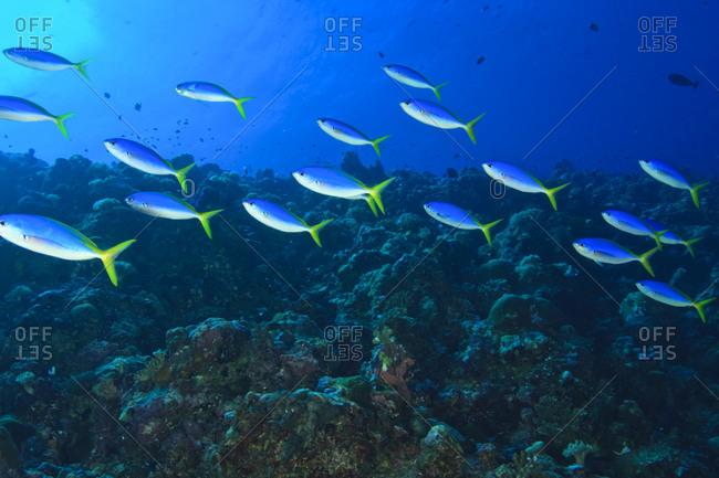 Fusiliers (Caesio tile),  Palau,  Micronesia,  Rock Islands,  World Heritage Site,  Western Pacific