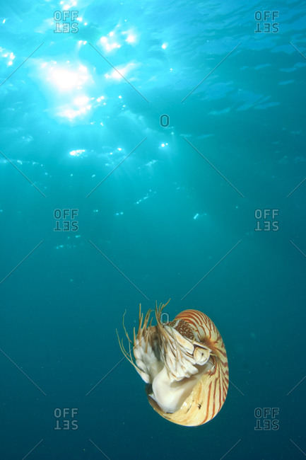 Chambered Nautilus swimming near Gnemelis Drop off,  Palau,  Micronesia,  Rock Islands,  World Heritage Site,  Western Pacific