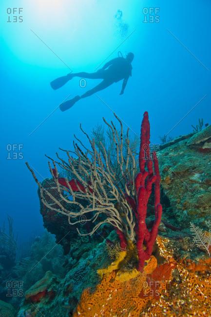scuba diver near colorful red sponges,  Roatan marine park,  Caribbean Scuba Diving,  Roatan,  Bay Islands,  Honduras,  Central America