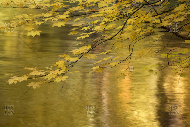 USA,  Oregon,  Rogue River National Forest Vine maple branch over golden water of Rogue River