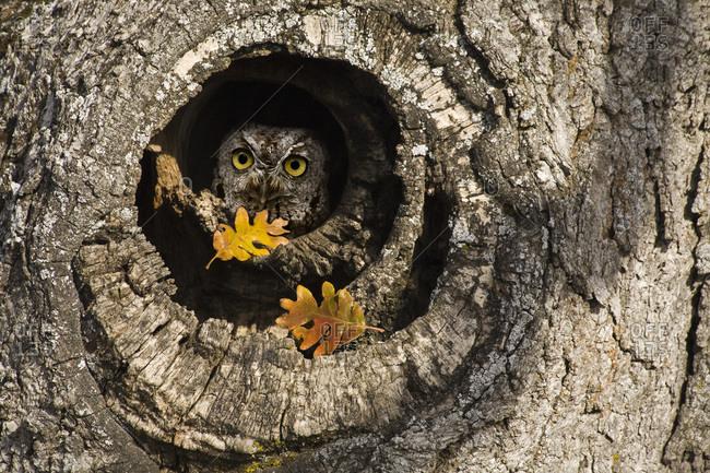 USA,  Oregon,  Mosier Screech owl occupies knot hole of old oak tree