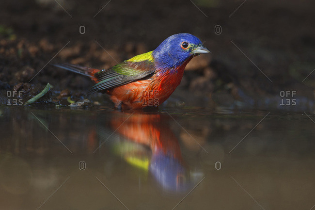Painted Bunting (Passerina ciris) adult male at a south Texas pond