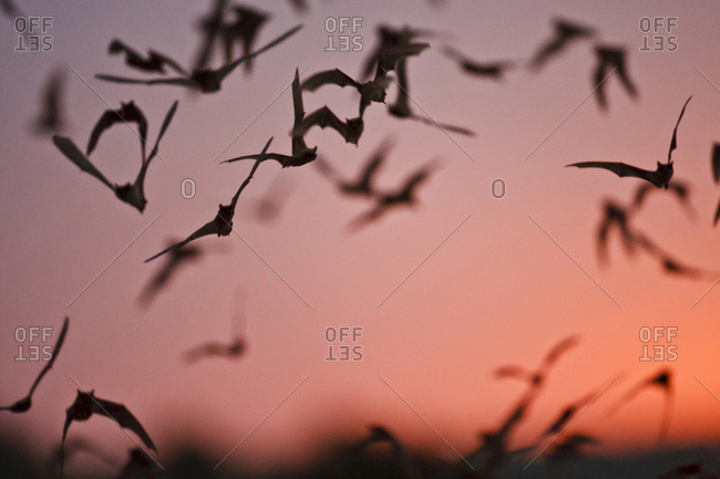 Mexican Free-tailed Bats (Tadarida braziliensis) emerging from Frio Bat Cave,  Concan,  Texas,  at sunset,  April