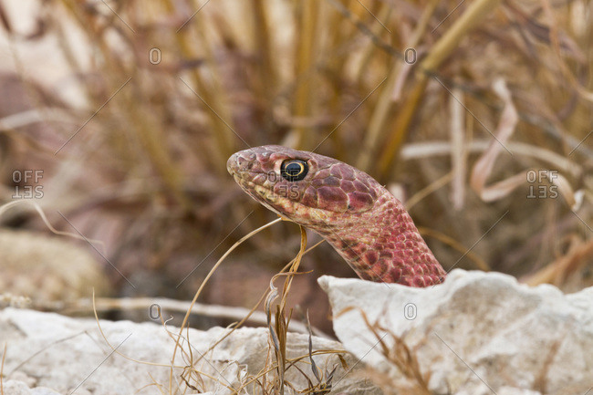Western Coachwhip (Masticophis flagellum) red colored population in west Texas