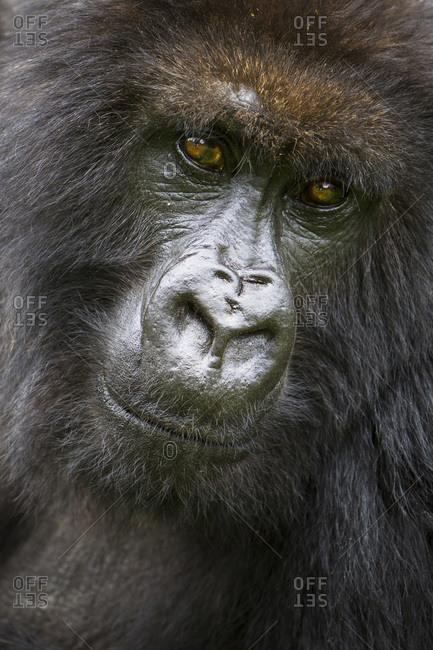 Africa. Rwanda. Female Mountain Gorilla (Gorilla gorilla beringei) of the Umubano Group at Volcanoes National Park in the Virungas.