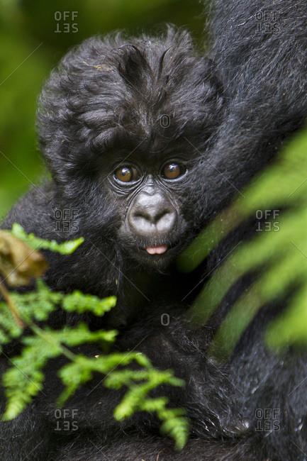 Africa, Rwanda, Female and juvenile Mountain Gorillas (Gorilla gorilla beringei) of the Umubano Group at Volcanoes National Park in the Virungas.