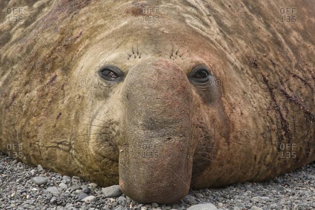UK Territory, South Georgia Island. Close-up of bull elephant seal.