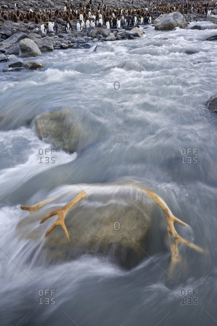 UK Territory, South Georgia Island, St. Andrews Bay. Close-up of reindeer antler caught in river rapids next to king penguin colony.