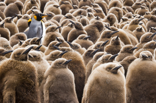 UK Territory, South Georgia Island. Young king penguin chicks in brown coats, otherwise known as oakum boys.