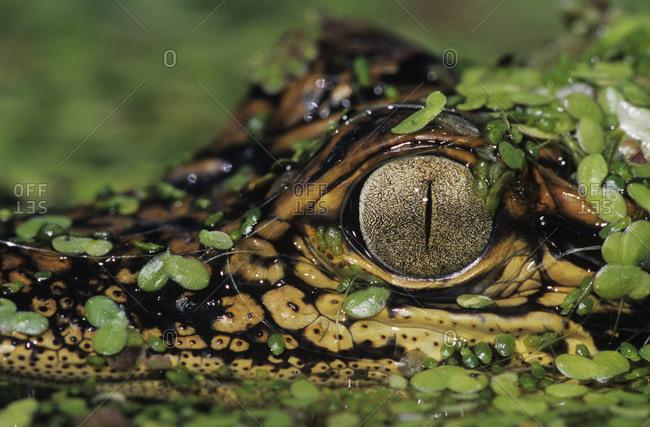 American Alligator, Alligator mississipiensis, young in duckweed camouflaged, Welder Wildlife Refuge, Sinton, Texas, USA, June
