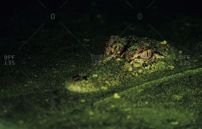 American Alligator, Alligator mississipiensis, adult in duckweed camouflaged, Welder Wildlife Refuge, Sinton, Texas, USA, June