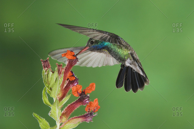 Broad-billed Hummingbird, Cynanthus latirostris, male in flight feeding on Flower, Tucson, Arizona, USA, September
