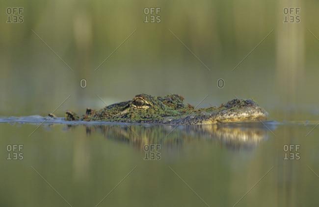 American Alligator, Alligator mississipiensis, adult swimming, Welder Wildlife Refuge, Sinton, Texas, USA, June