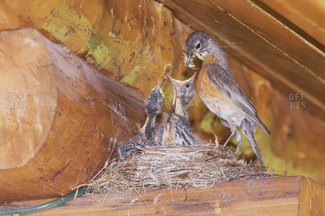 American Robin, Turdus migratorius, female with young on nest at Log Cabin, Glacier National Park, Montana, USA, July