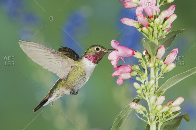 Broad-tailed Hummingbird, Selasphorus platycercus, male in flight feeding on Penstemon flower (Penstemon sp.), Rocky Mountain National Park, Colorado, USA, June