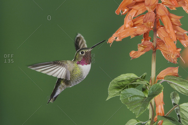 Broad-tailed Hummingbird, Selasphorus platycercus, male in flight feeding on Red Salvia (Salvia splendens), Rocky Mountain National Park, Colorado, USA, June